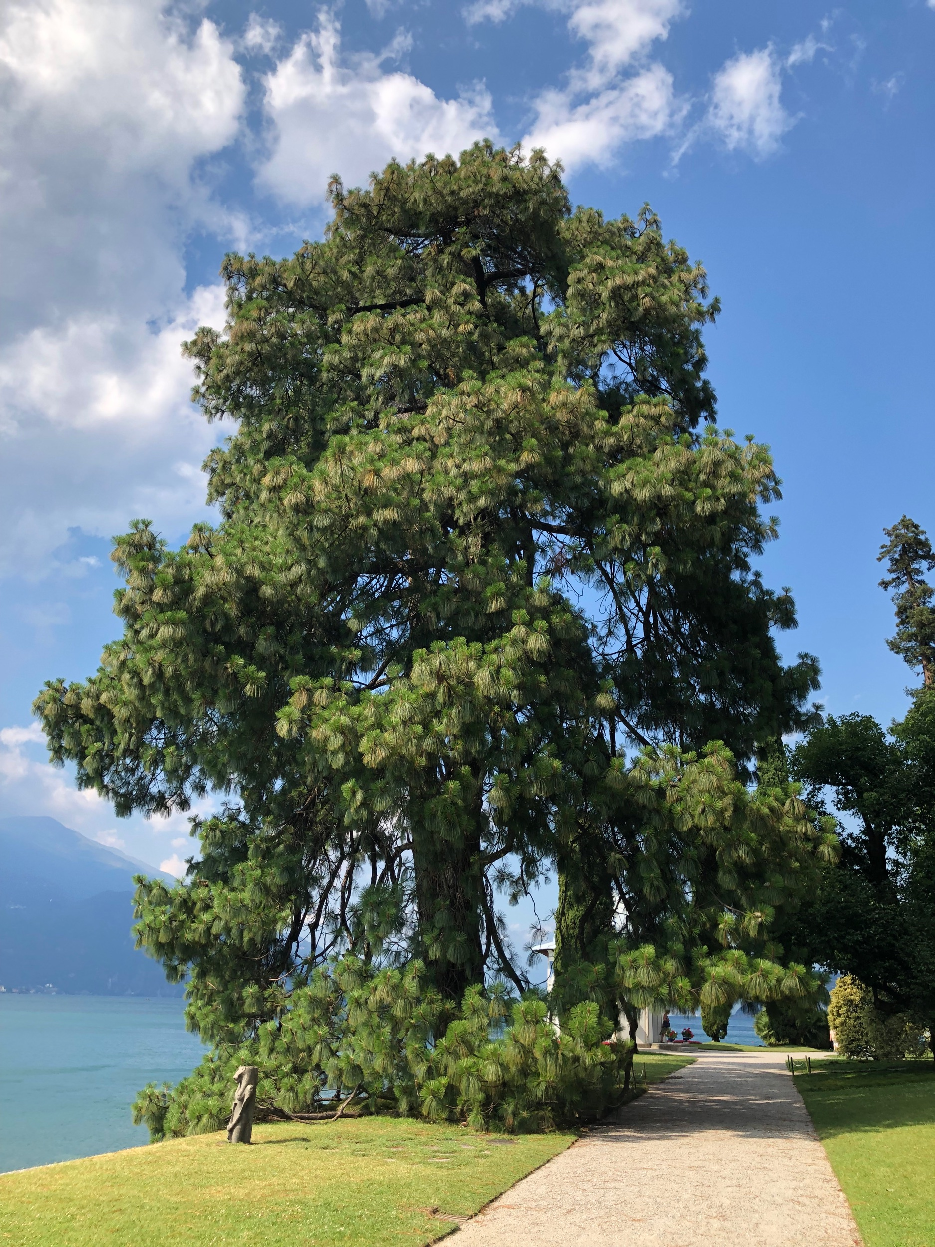 Pinus devoniana (native to Mexico-known as Pino blanco there)