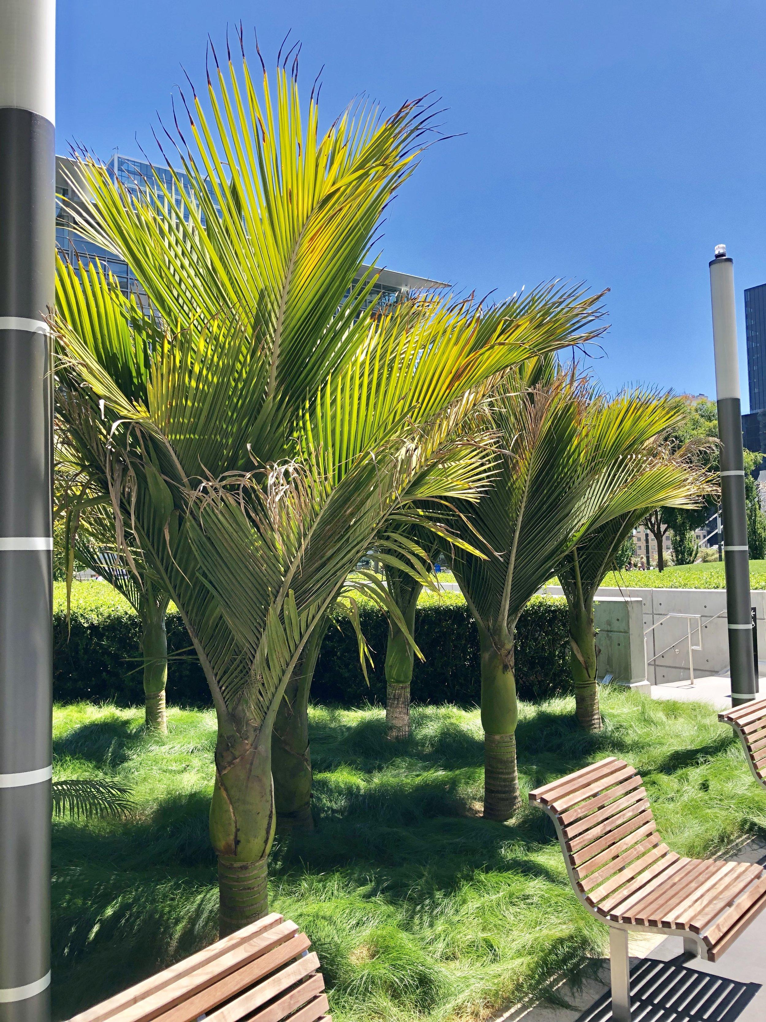 Nikau palms from New Zealand