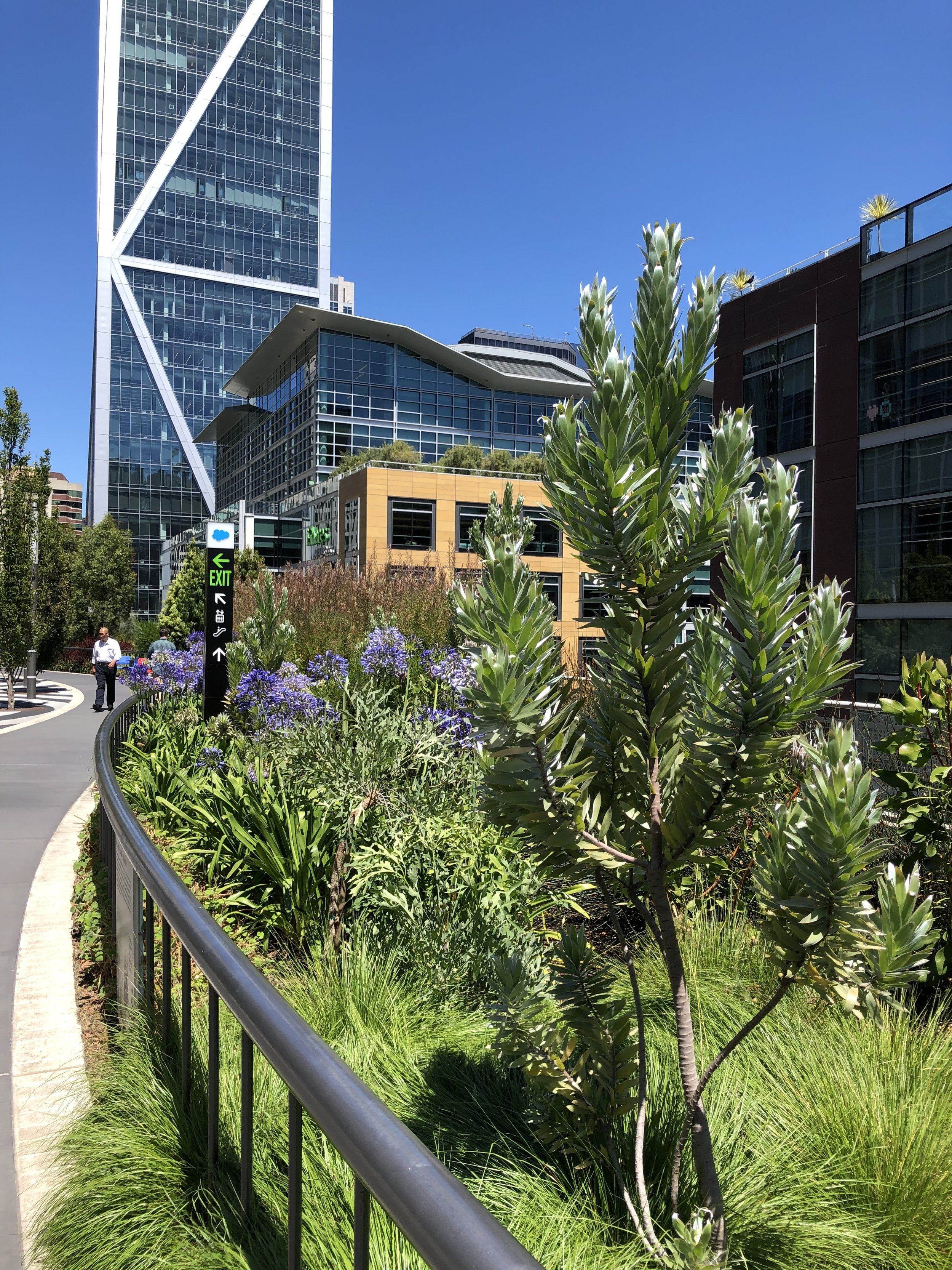 Silver tree on right, agapanthus flowers in background on left - both from South Africa
