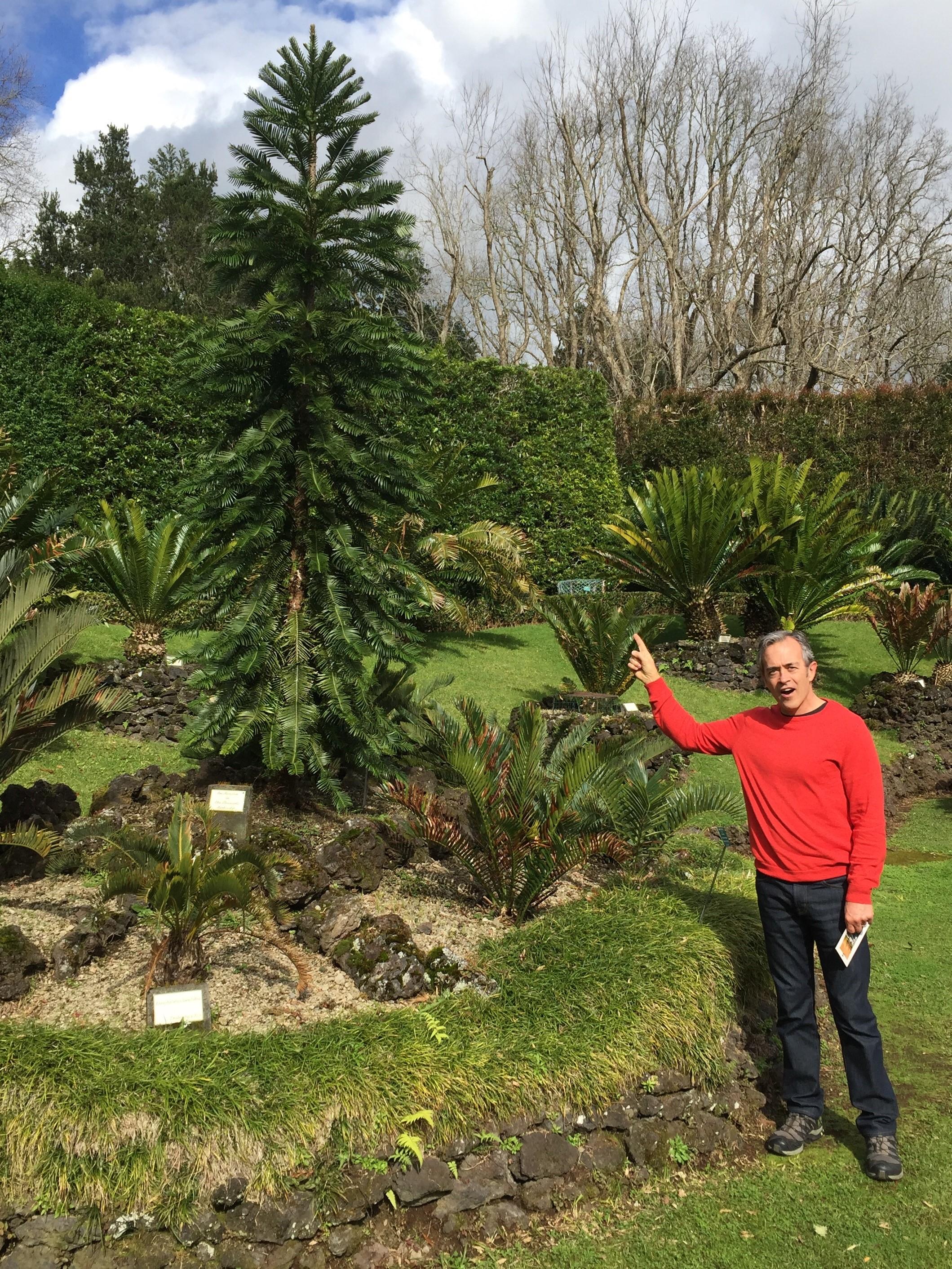 Wollemi pine in Parque Terra Nostra
