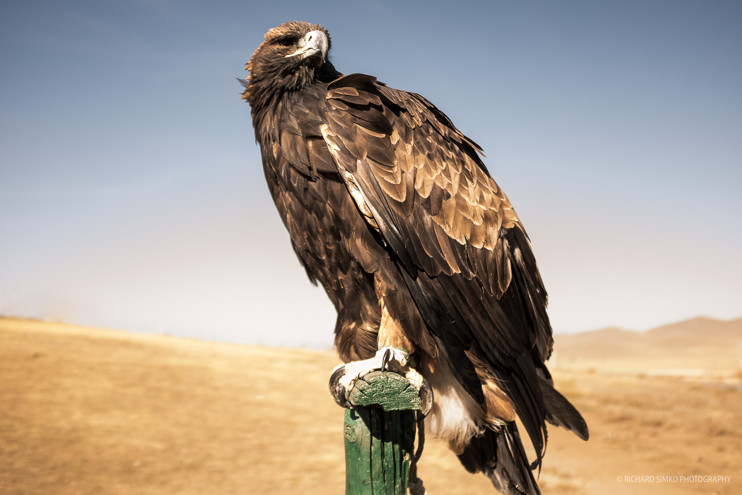 Famous golden eagle. it is still used for hunting especially by Kazakh nomads in Western Mongolia. Around Ulaanbaatar they are a tourist attraction.