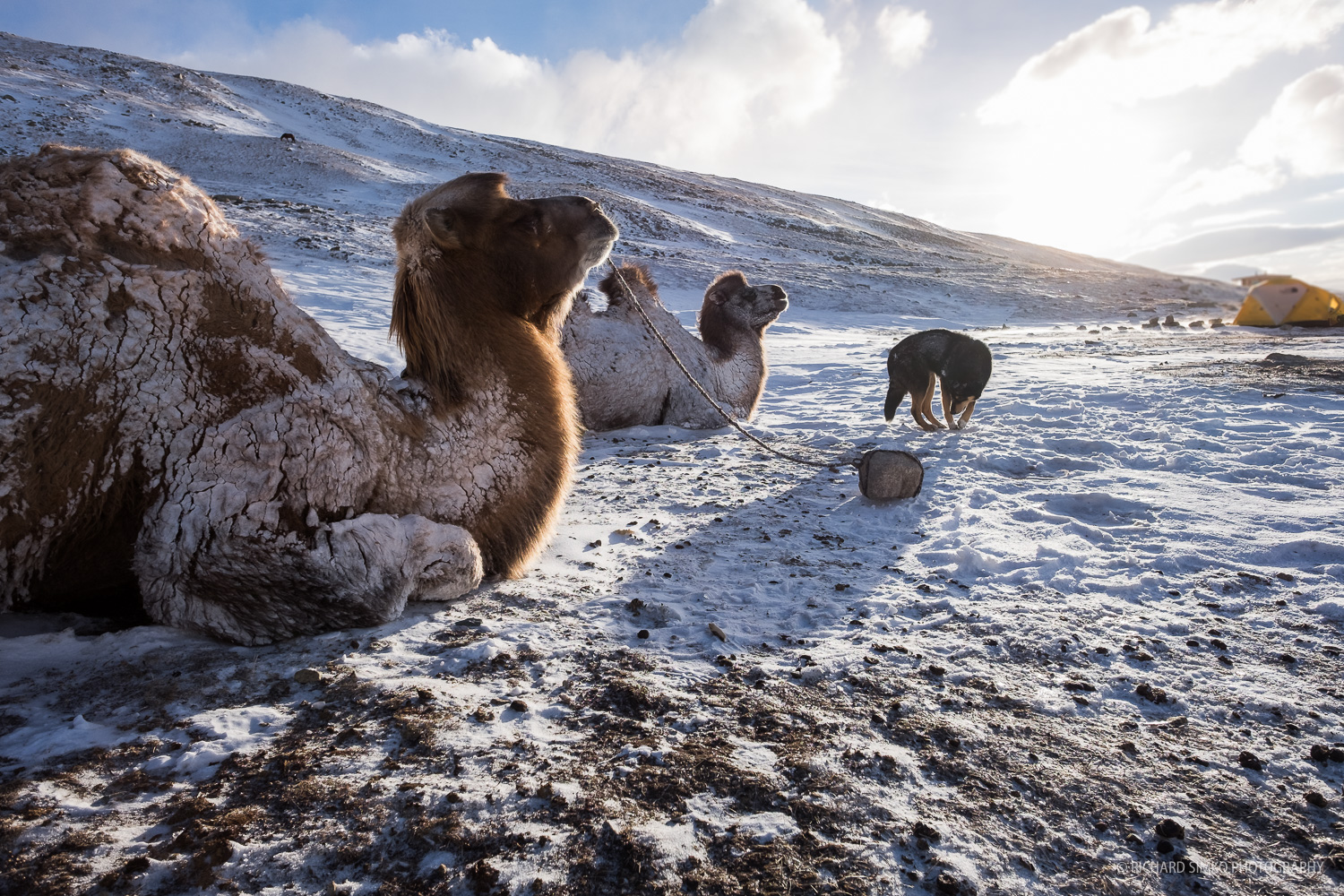 These amazingly though animals slept overnight outside at basecamp in subzero temperatures and strong wind gusts without any problem.