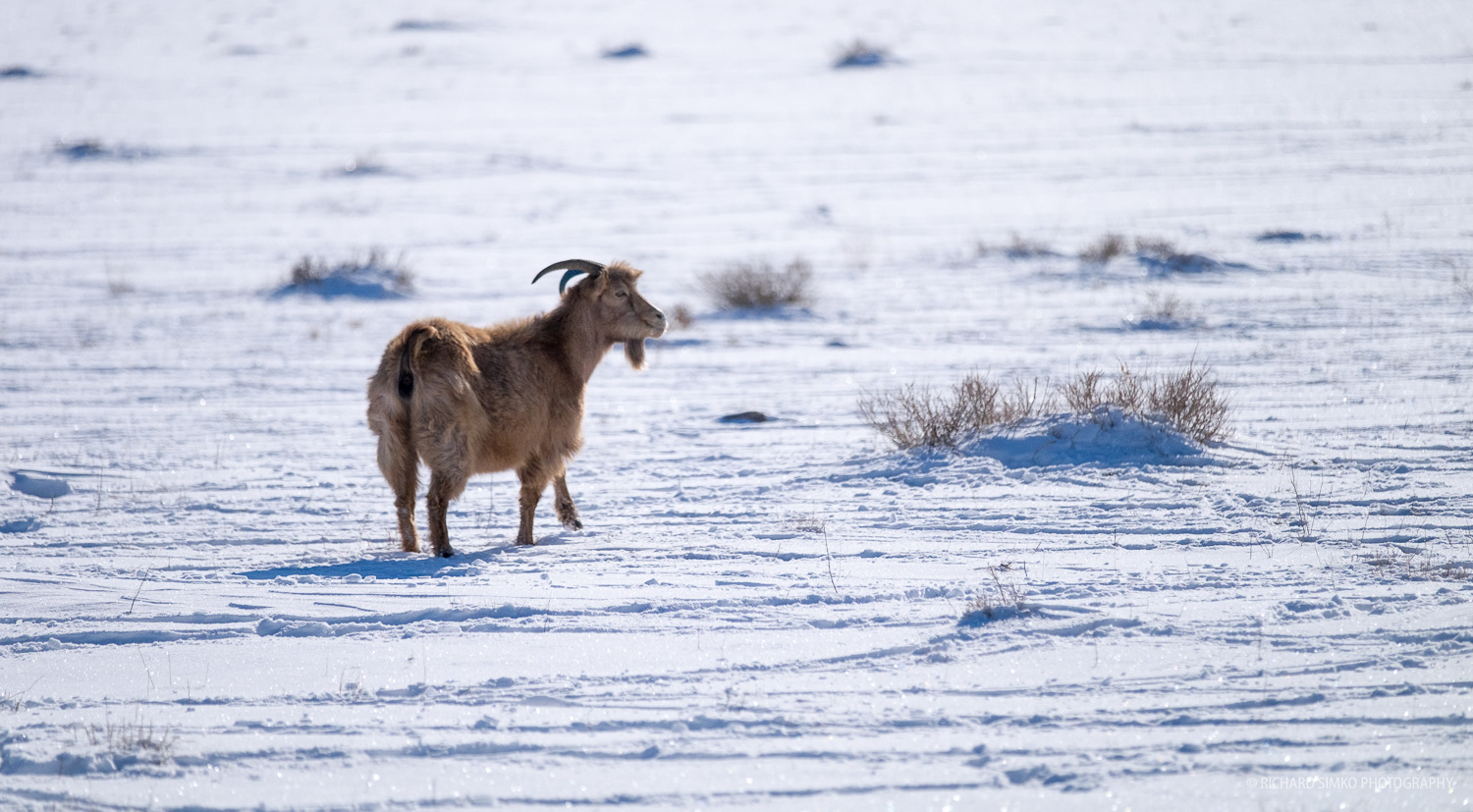This old injured goat was slowly limping behind the main herd
