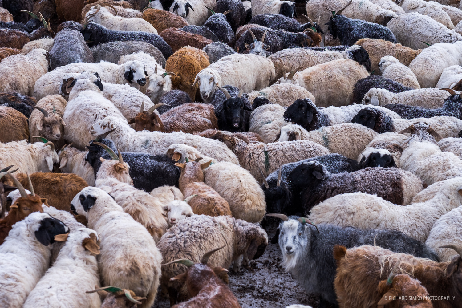 Nights are cold even for animals protected by thick layer of fur. Sheep and goat are bundled together trying to preserve the warmth as much as possible.