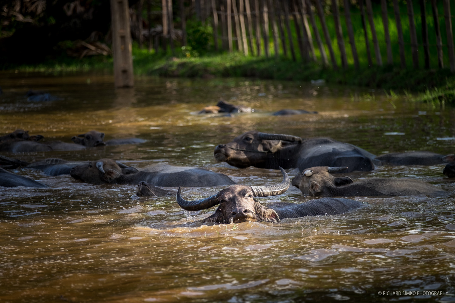 Water buffaloes taking a dip in the small village lake to escape the heat. S omewhere near Siem Reap.   Fujifilm X-T1, Fujinon 50-140mm   2.8