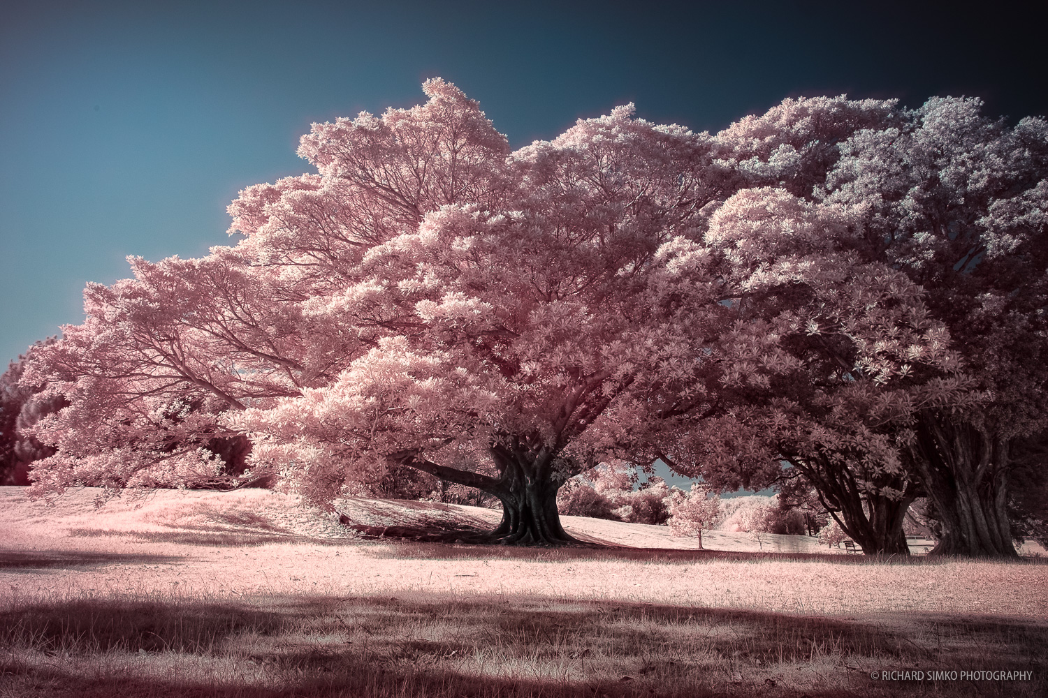 Infrared photograph taken at Centenial Park in Sydney. This is a result of one of my first ventures into infrared world. I used screw-on IR filter on my camera and went out armed only with basic theoretical knowledge of IR photography. Although not perfect, I was quite pleased with the result.Even the false color processing turned out quite ok. Whole image feels that it could be a scene from Japan during cherry blossom season. On top of that I really love how magnificent the tree is.