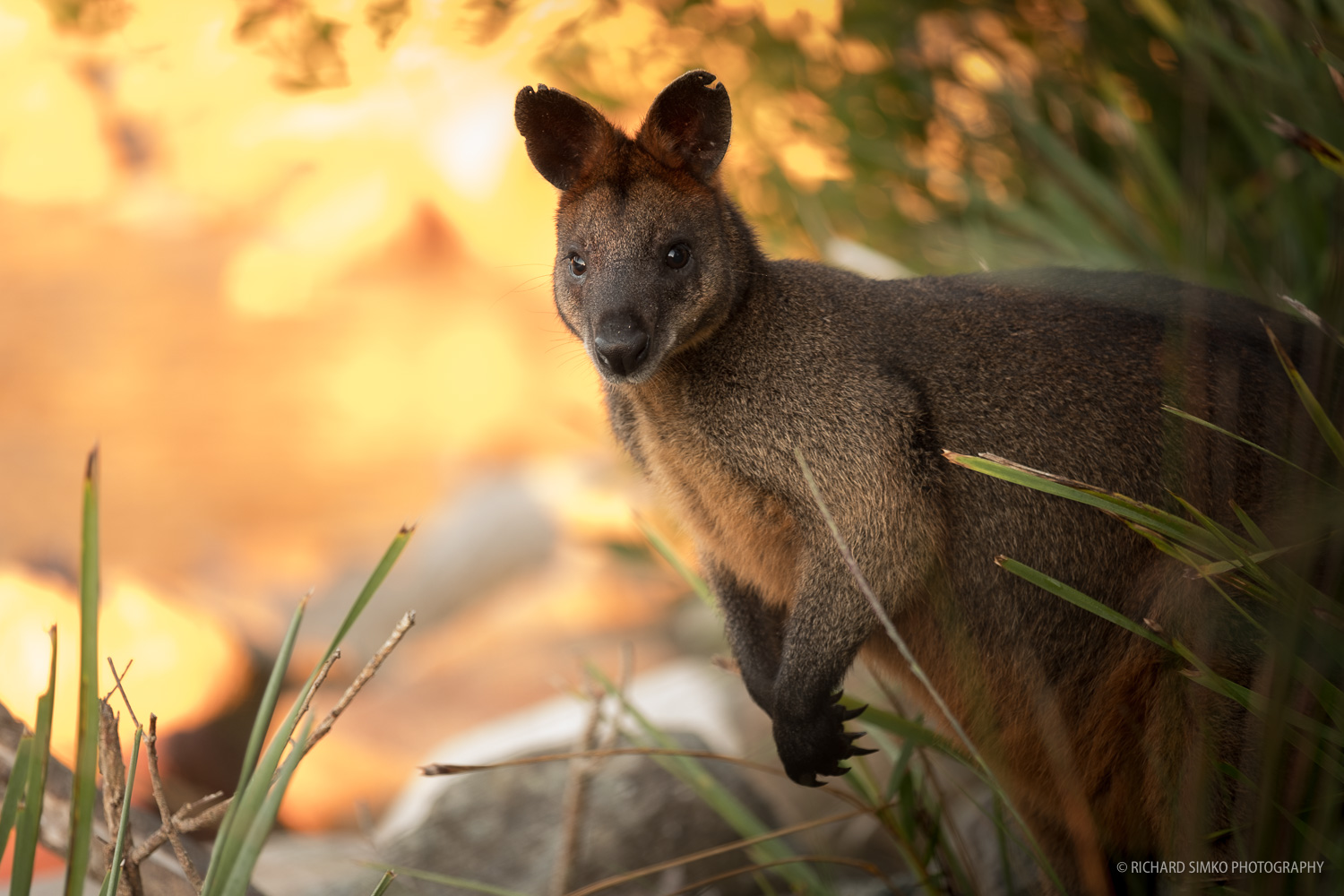 Wallaby, the money shot.