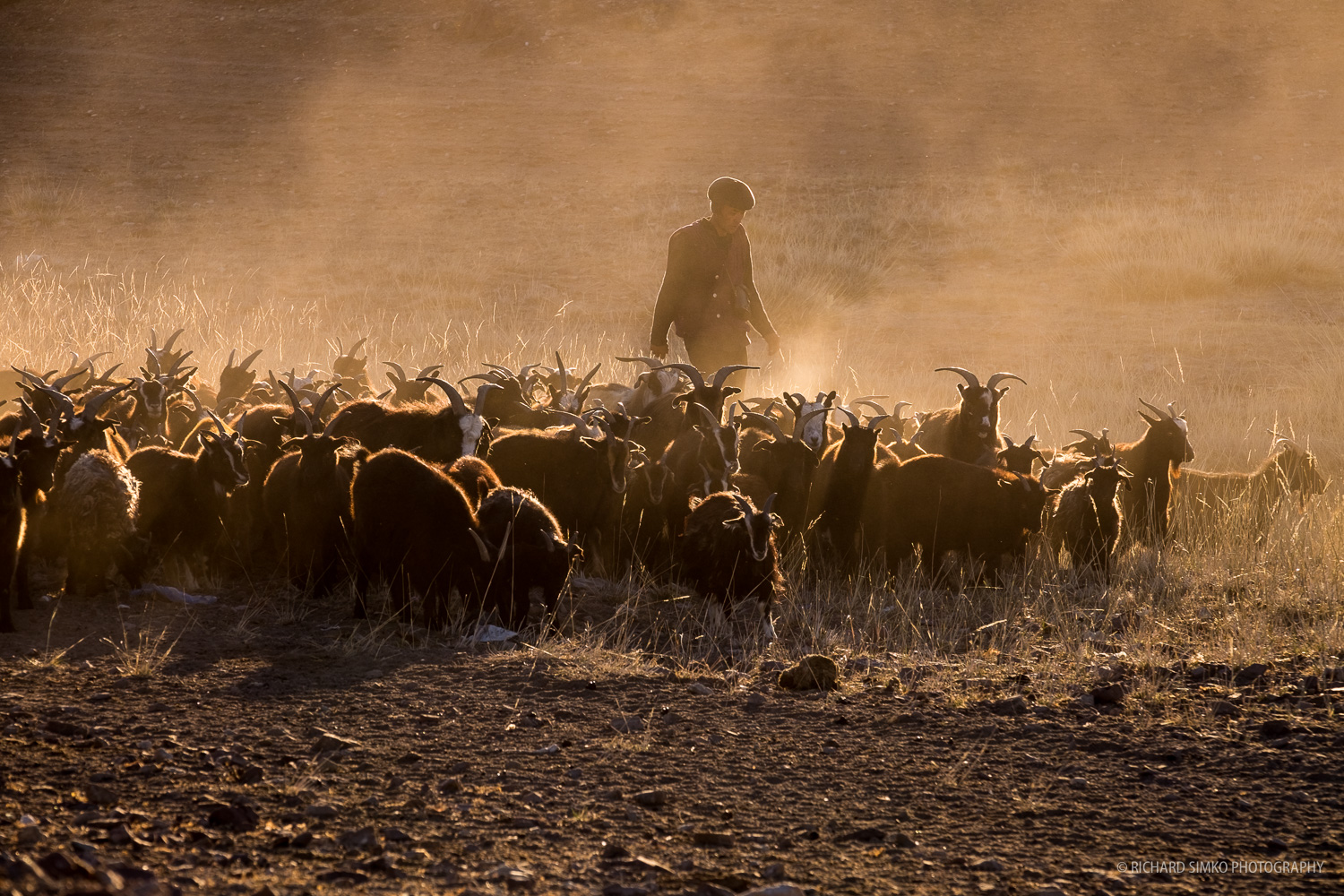 Goats in the golden dust,Fujifilm X-T1, XF 50-140mm f/2.8 LM OIS WR