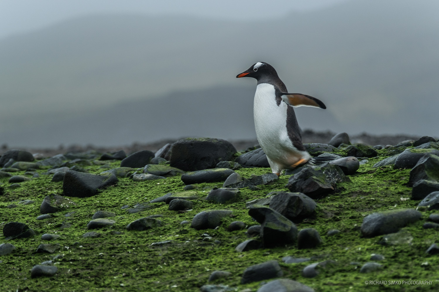 These dudes are just so funny. Gentoo penguin on Barrientos Island.