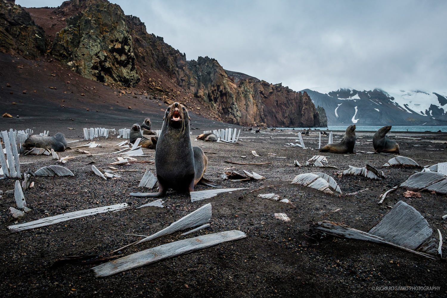 Fur seals on the Deception Island made their resting place among whale bones and old decaying structures of former whalers station.