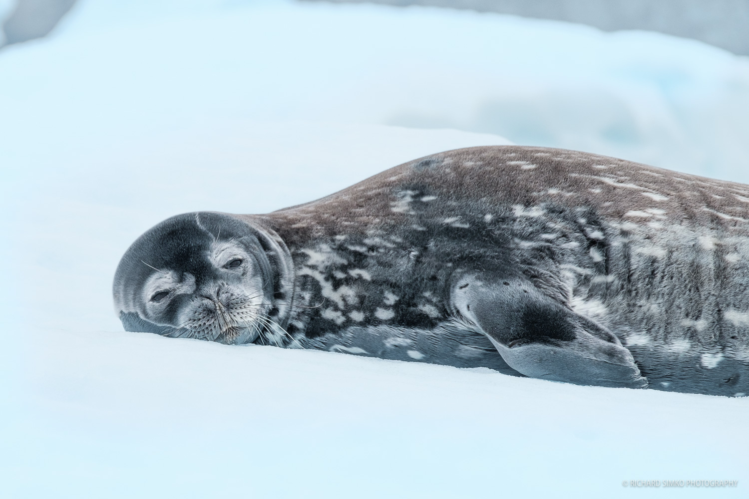 We have found many seals during the cruise. They were snoozing laying down on bigger or smaller icebergs.