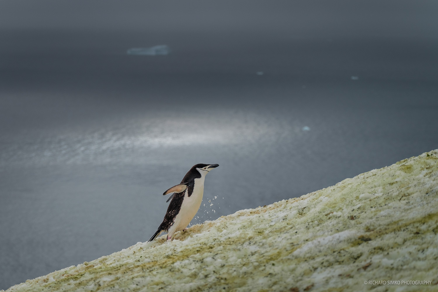 It is almost unbelievable how high these penguins have to climb. They use so called penguine higways to make their way from the see to their nests.