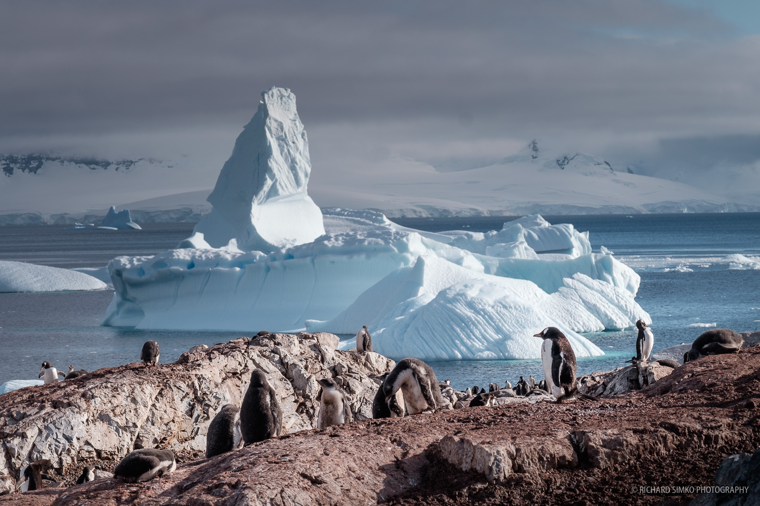 This is one of the biggest colony of gentoo penguins who usually prefer smaller ones. The magnificent iceberg frames the scene giving it a nice color contrast.