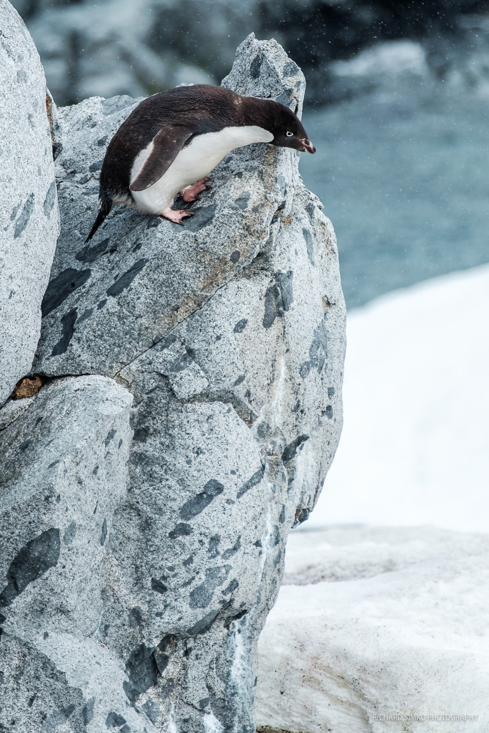 This looks a little scary. Adelie penguin is contemplating jumping of this rather large rock. Suicidal? No way, he made it. almost effortlesly.