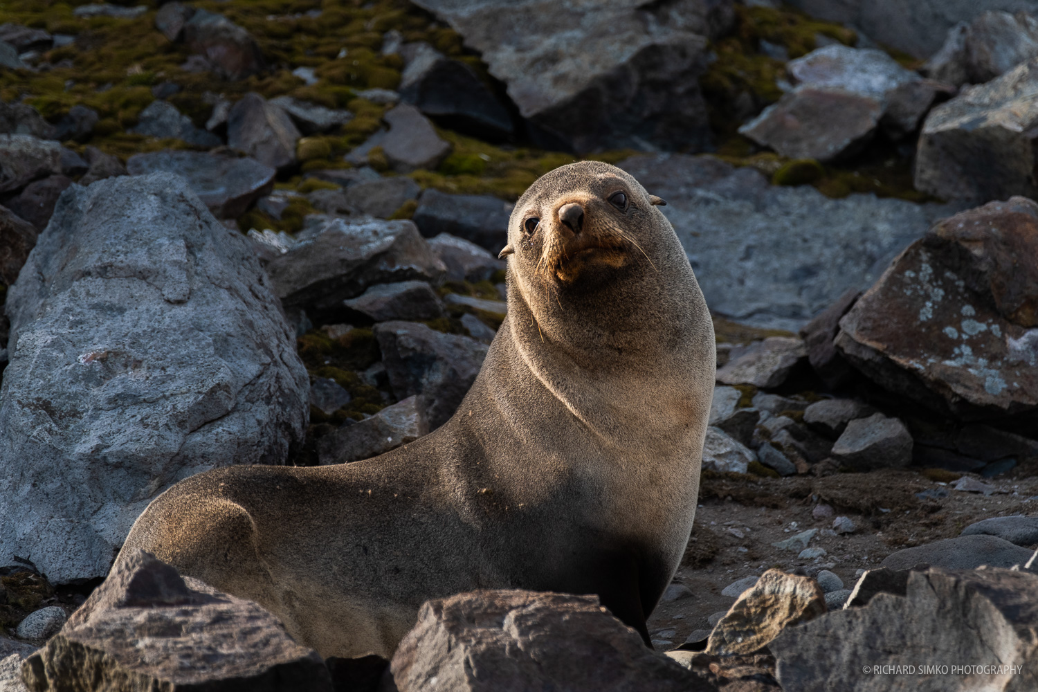 Antarctic fur seal in late afternoon light.