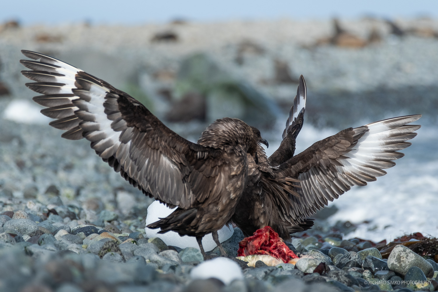 A pair of skuas feed on a dead penguin, fighting to get the best bite.