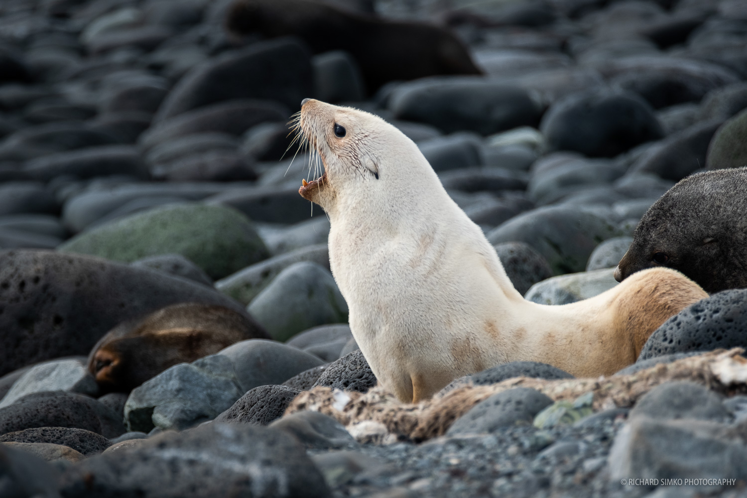 """Antarctic fur seal. This time a rare """"blonde"""" version. Rare it may be but we actually encountered a few of them during our trip."""