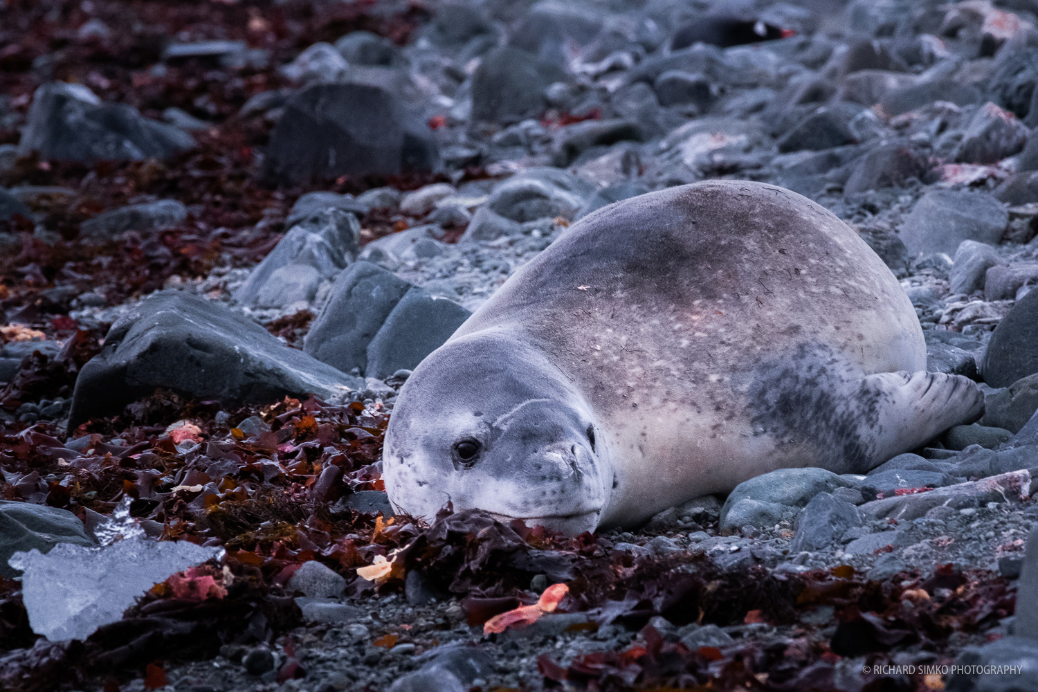 Resting leopard seal surrounded with purple kelp.