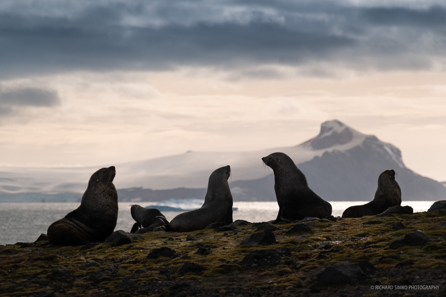 A scene from Penguin Island. Antarctic fur seals create a nice silhouette against dropping sun, nicely backlit with warm colours.