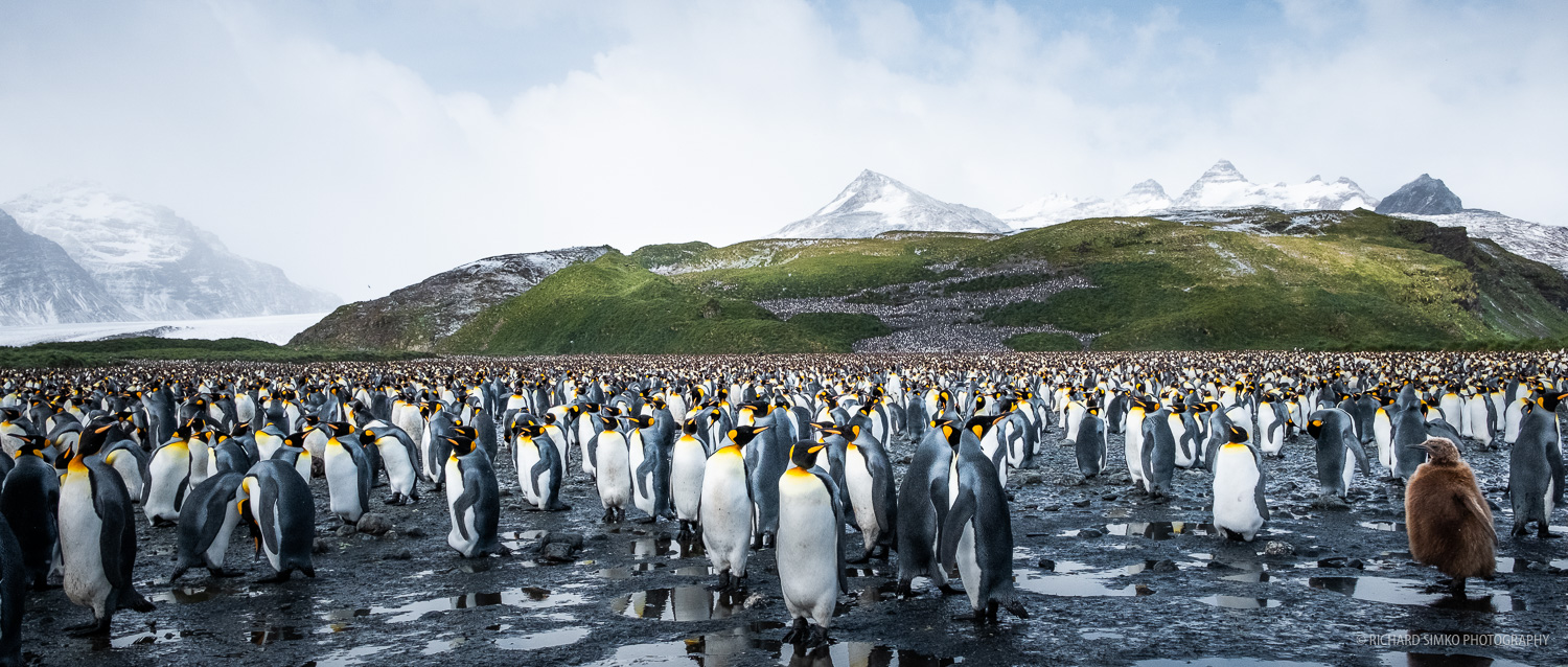 Second largest king penguin colony on South Georgia is located at Salisbury plane.