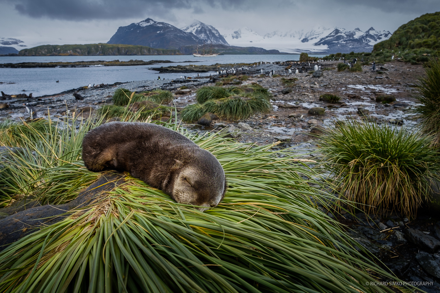 Antarctic fur seal pup is sleeping on patch of tussac grass on Prion Island. South Georgia.