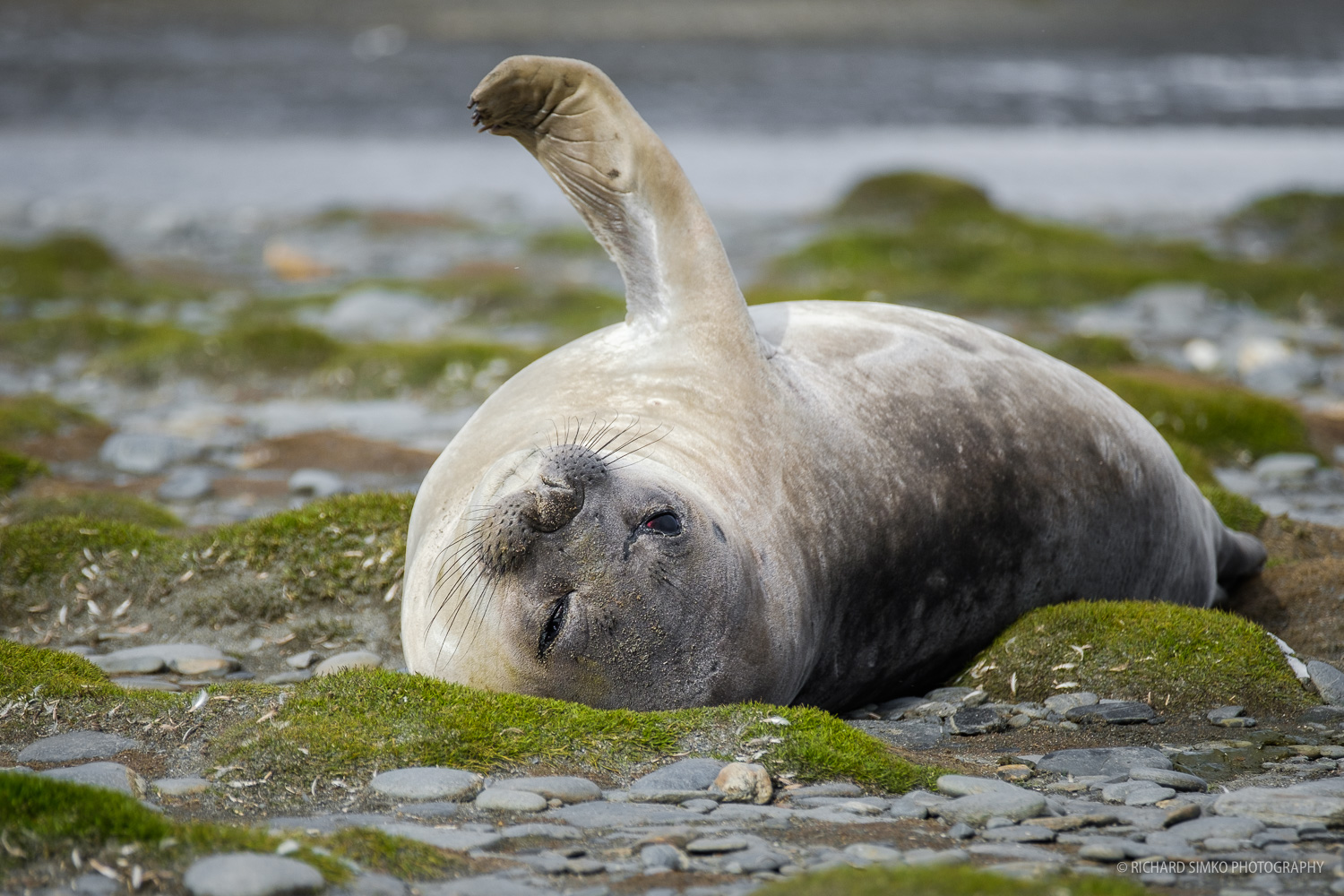 A lazy seal is sunbathing on green mossy ground at Salisbury Plane in South Georgia