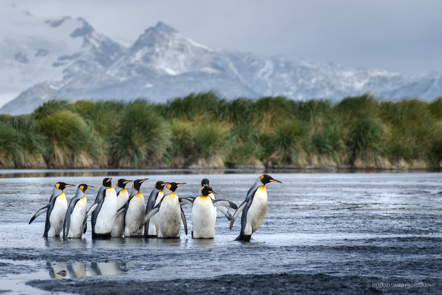 On the way to work. When visiting any wildlife colony, it is very important that we leave a free access to the see for animals. These penguins are making their way to the sea through such a free space we left for them.