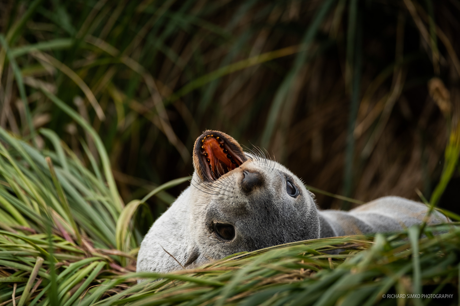 Fur seals were once almost extinct. But they number grew and in such and extent that they are taking over certain places from other wildlife. This is a pup at Prion Island resting in tussac grass which is primarily a location for nesting albatrosses.