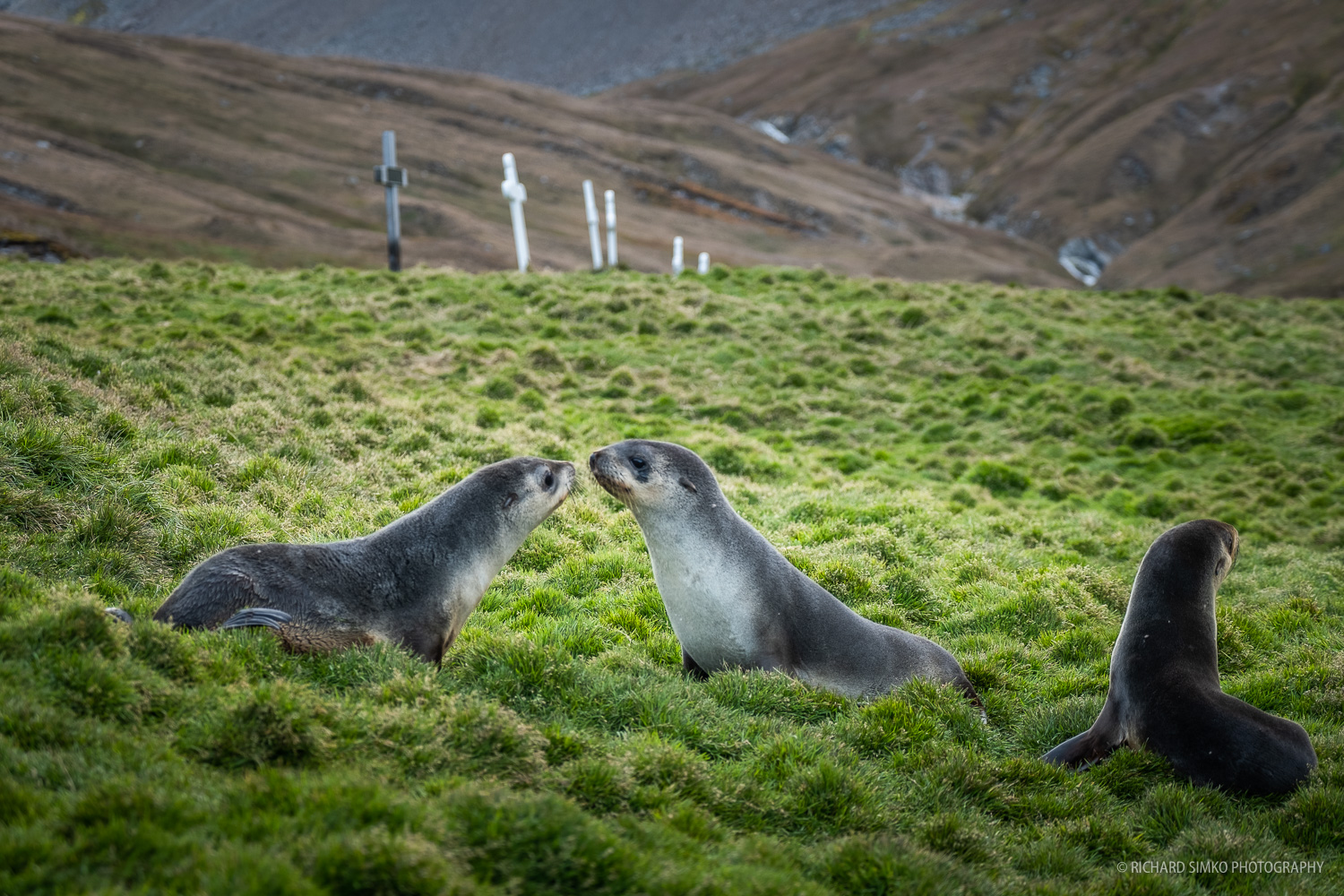 Fur seal pups are playing in the grass in front of graves of deceased whalers.