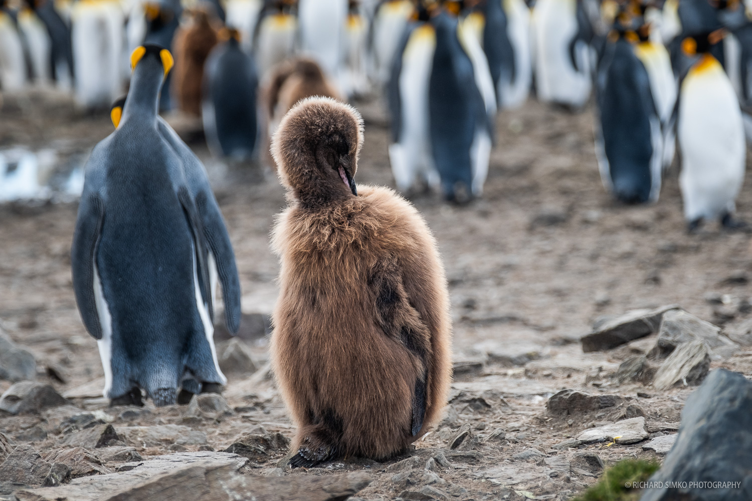 A king penguin chick still with brown feathers that will moult soon and the chick will resemble the natural colors of the species soon.