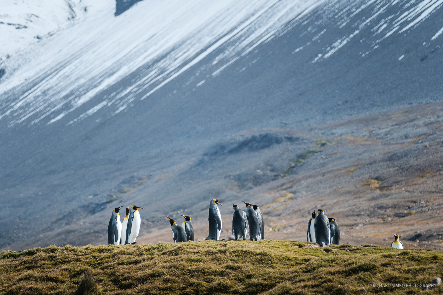 A group of king penguins on a grassy patch not far from the main colony at St Andrews.