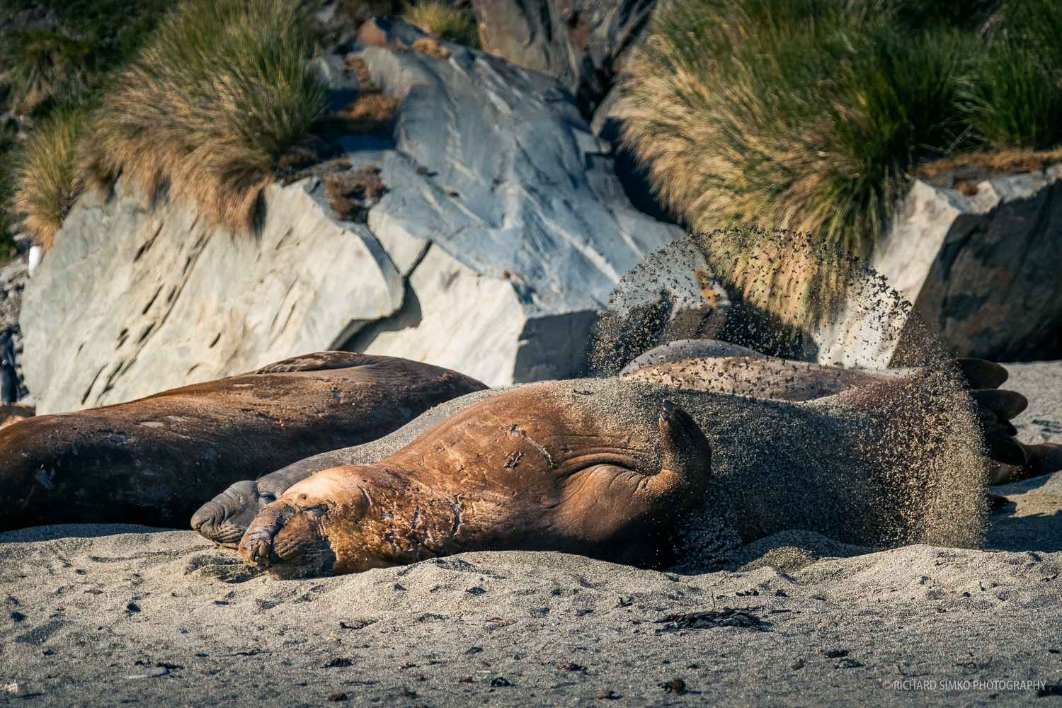We came across few elephant seal bulls lying on the beach in Moltke Harbour, just being lazy and sunbathing.