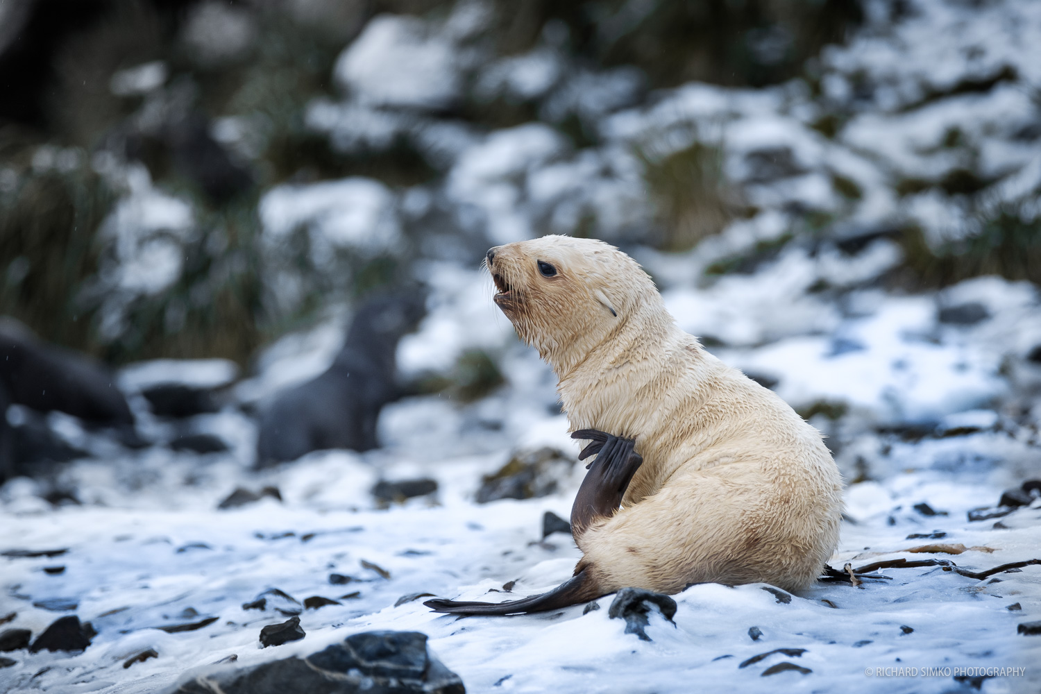 We have been very lucky as we came across these very rare blonde fur seals several times during our trip.