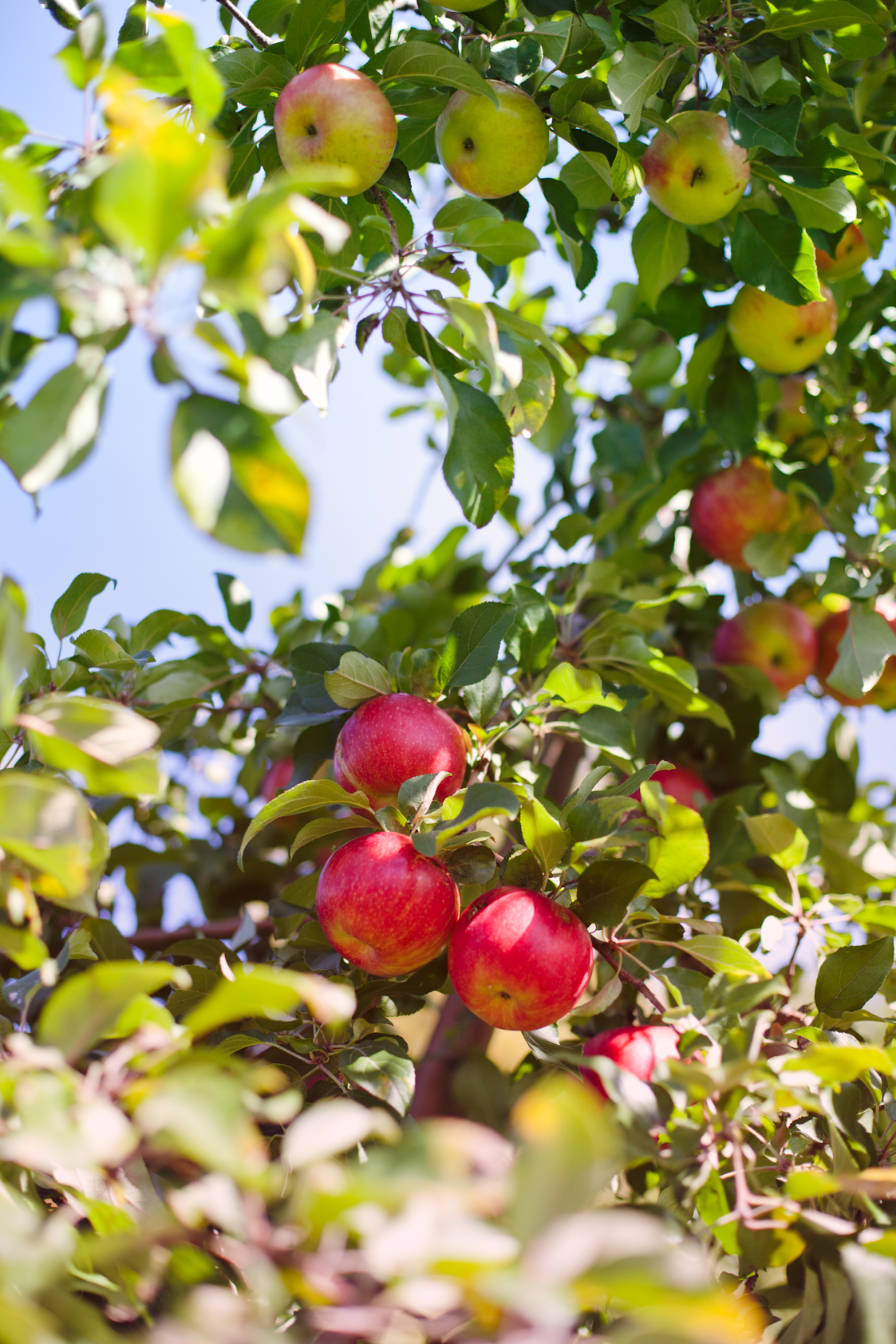 ApplePicking-01.jpg