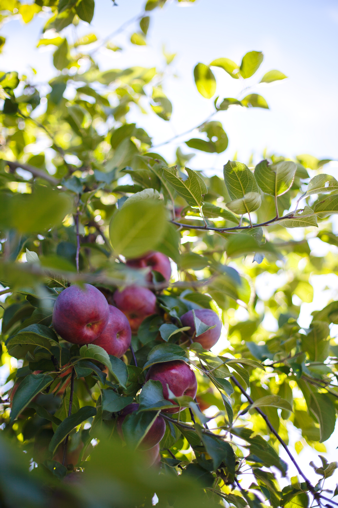 ApplePicking-04.jpg