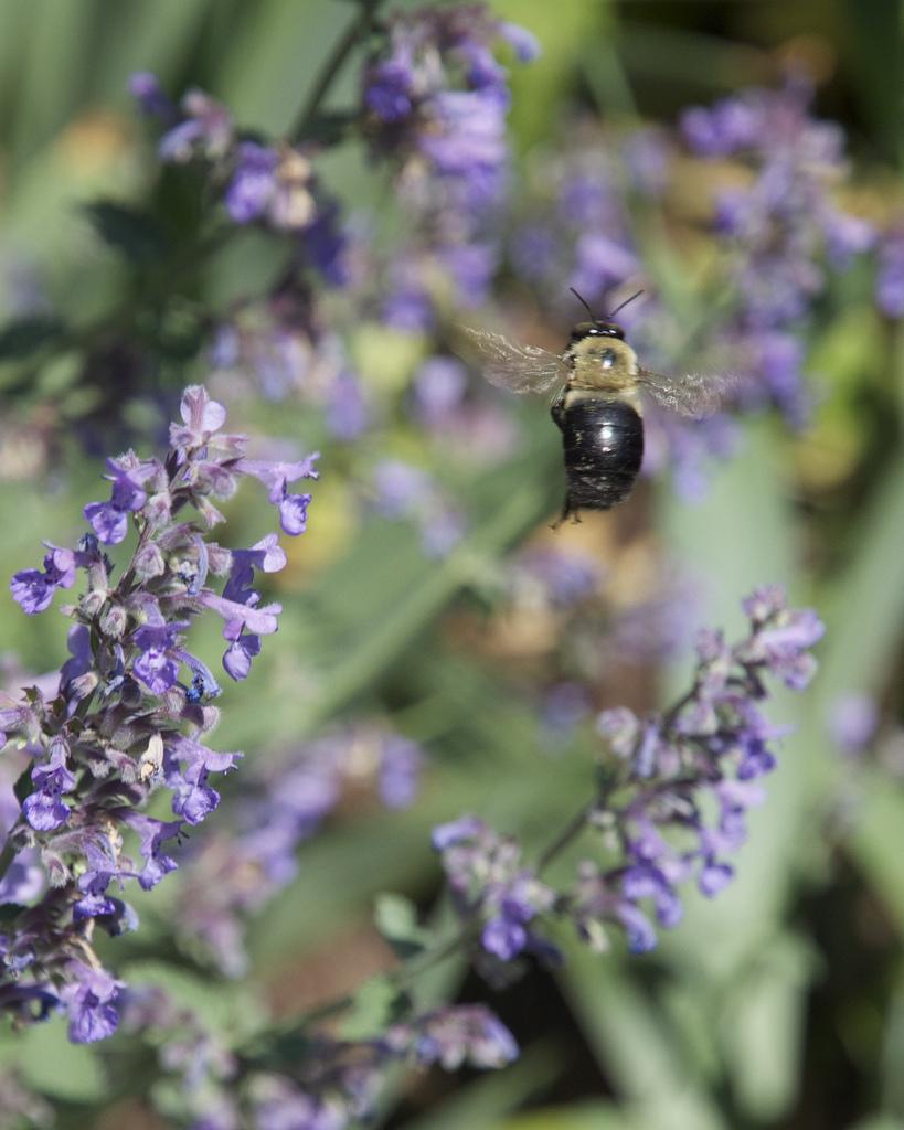 Bee, NY Botanical Gardens.