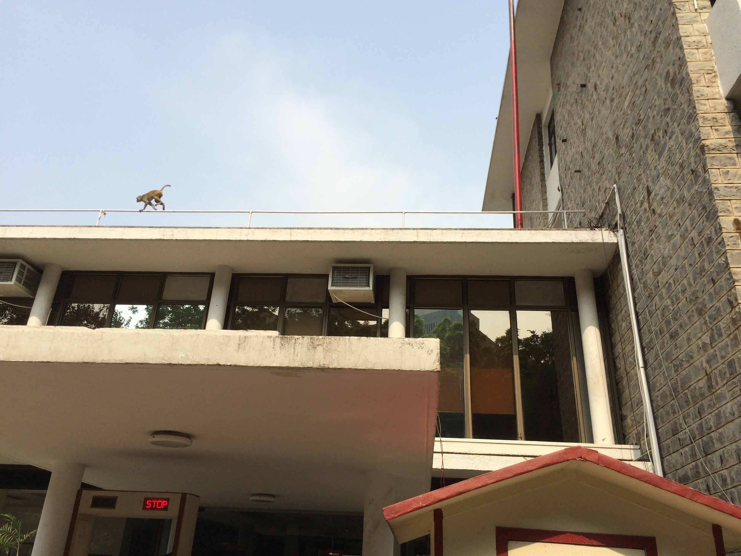 A monkey scampers across the roof of our hotel in New Delhi.