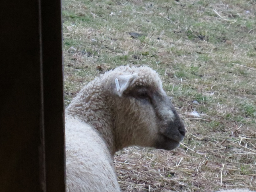 one wedding sheep sm.jpg