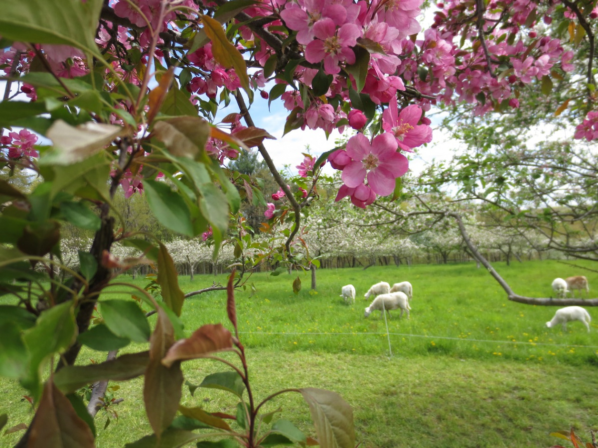 crabapple and sheep.jpg