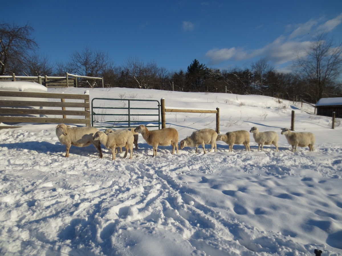 sheep from the feeder sm.jpg