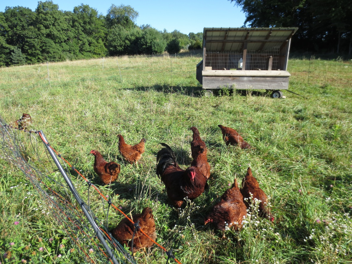 summer hens grazing copy.jpg