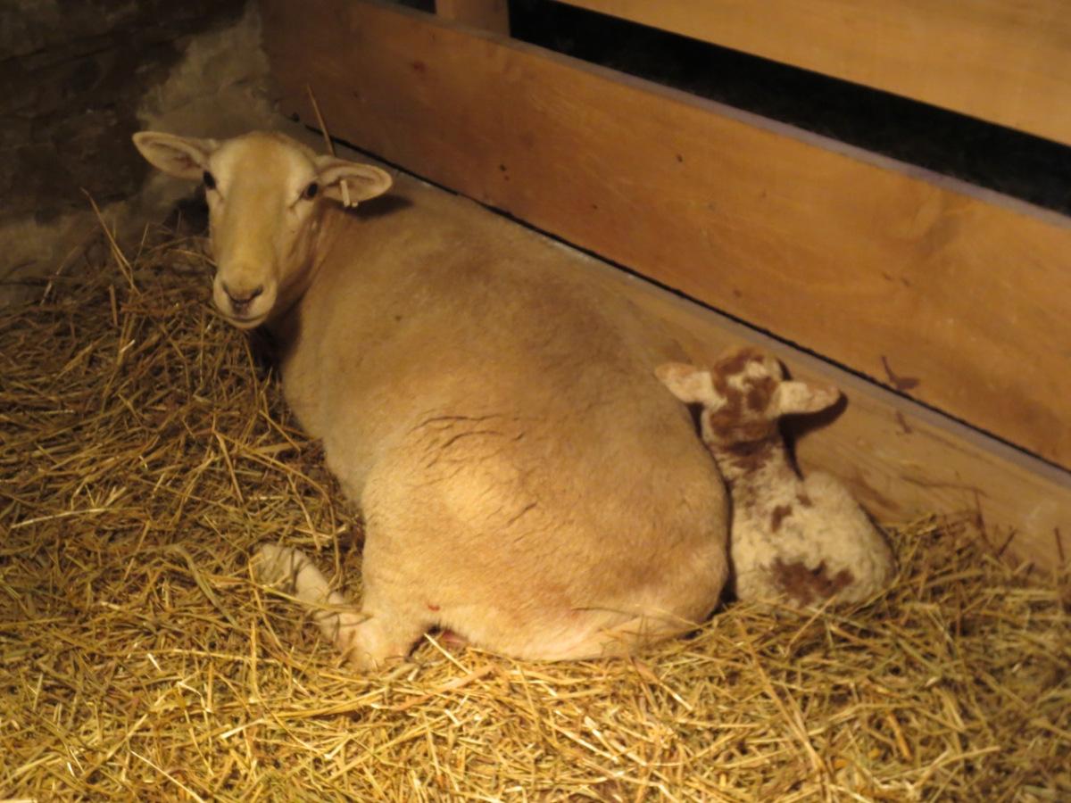 mauve and lamb resting copy.jpg