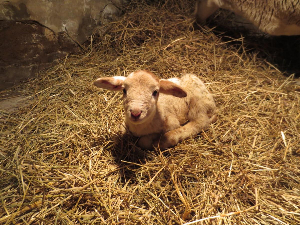 mauve's lamb '13 copy.jpg