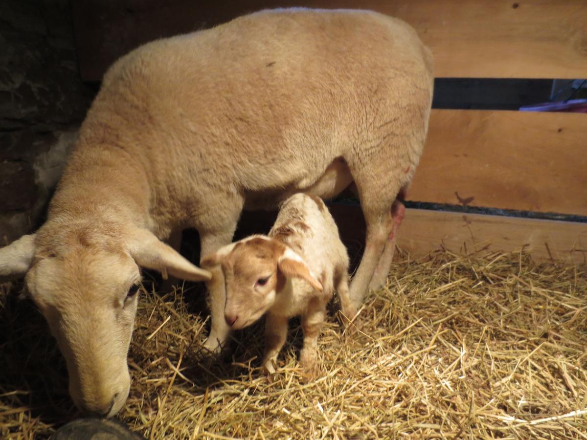 pretty mauve and lamb copy.jpg