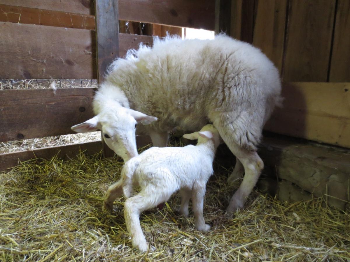 005 and lamb '13 copy.jpg