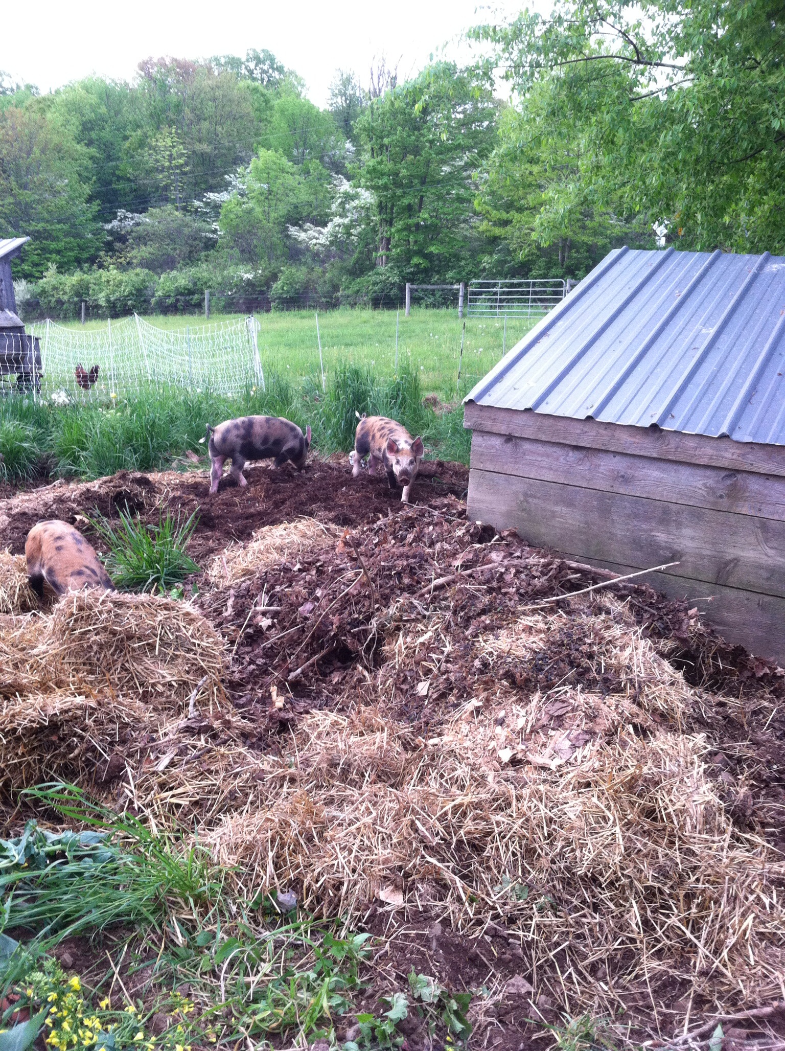 The garden pigyard is at the edge of the yard, close enough to the house to monitor the pigs' antics. To prepare the garden for the pigs' arrival, I left last year's turnips, weeds and volunteer rye to stand and I topped scoops of corn with wheel barrow sized piles of barn bedding. The pighouse was dragged into place and filled with fresh straw.  The pigs got right to work, rooting and digging.
