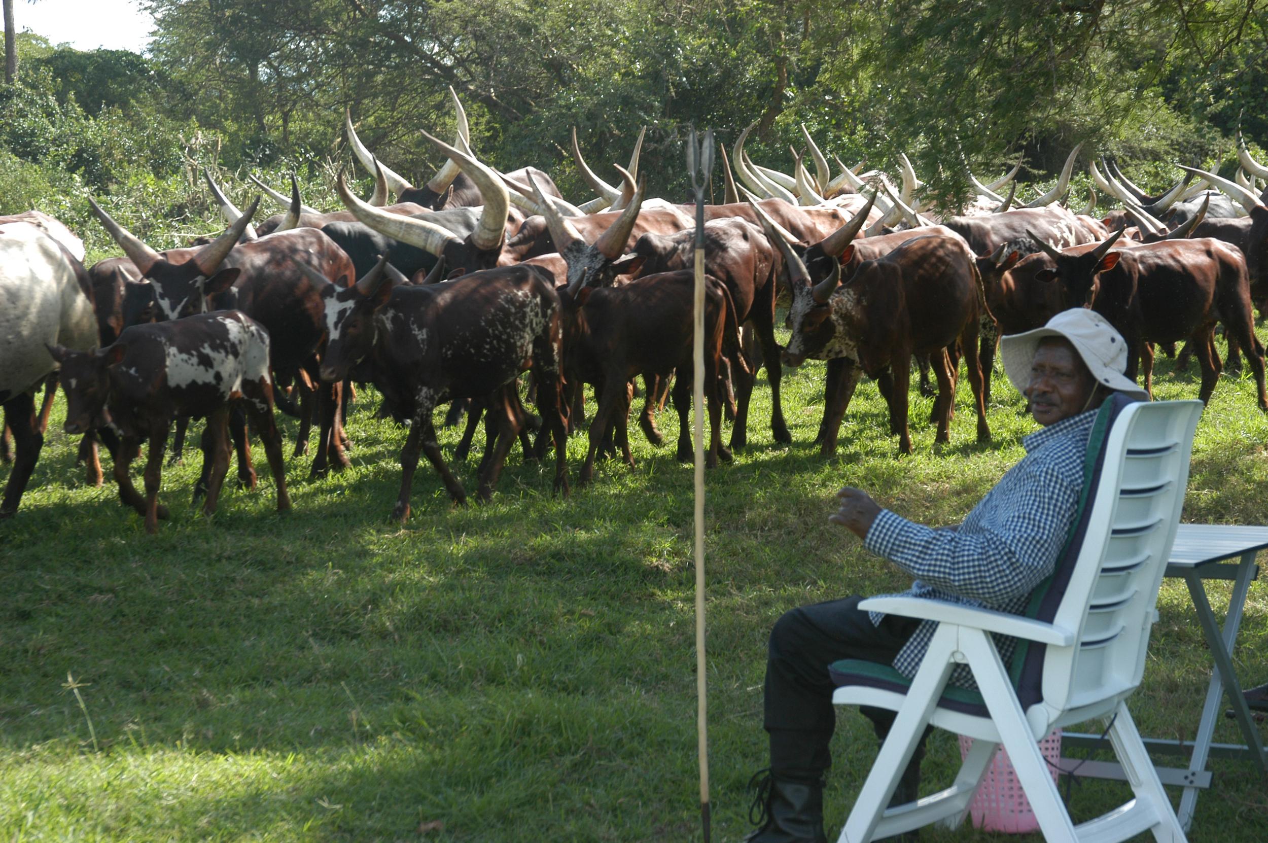 President Yoweri Museveni and his herd. (Enock Kakande)