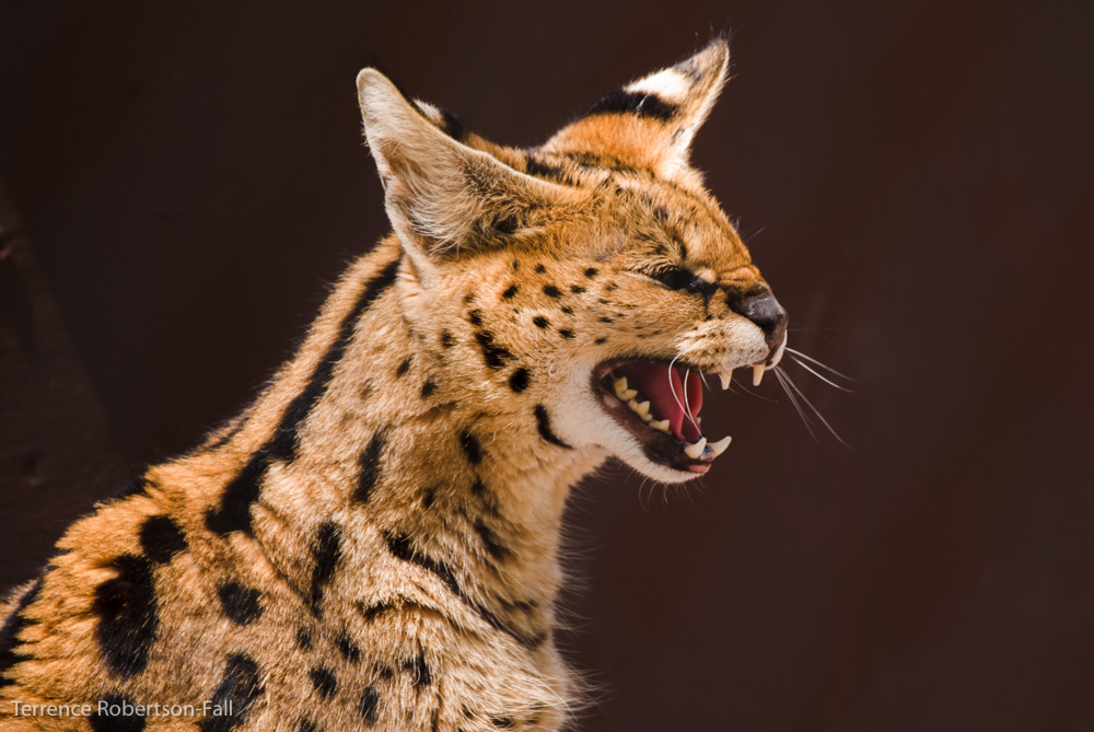 I own this place! - Sasha serval, Shambala Preserve, by Terrence Robertson-Fall