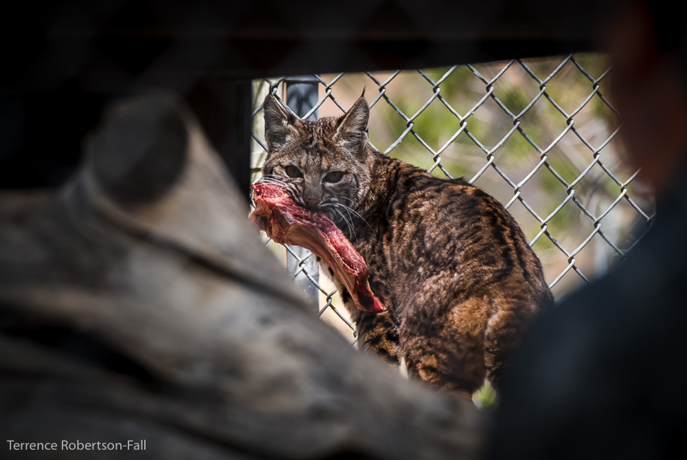 Don't bother me, I'm eating! - Cassie bobcat, Shambala Preserve, by Terrence Robertson-Fall