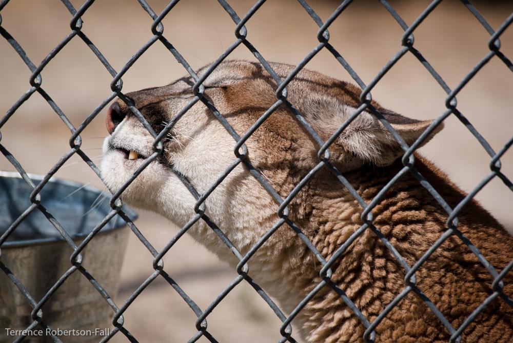 Purrrr! - Trinity cougar, Shambala Preserve, by Terrence Robertson-Fall